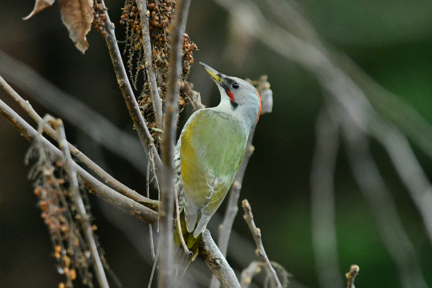 アオゲラ ♀