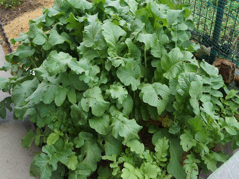 菜園の大根