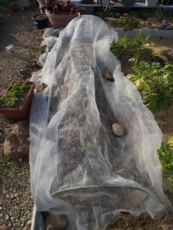 サラダ菜植え