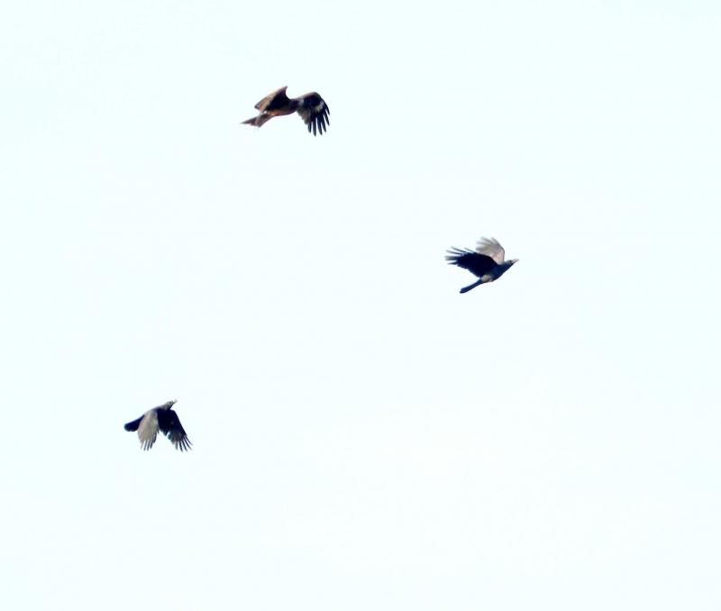 猛禽と2カラス