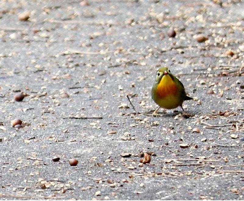 ソウシチョウ1羽
