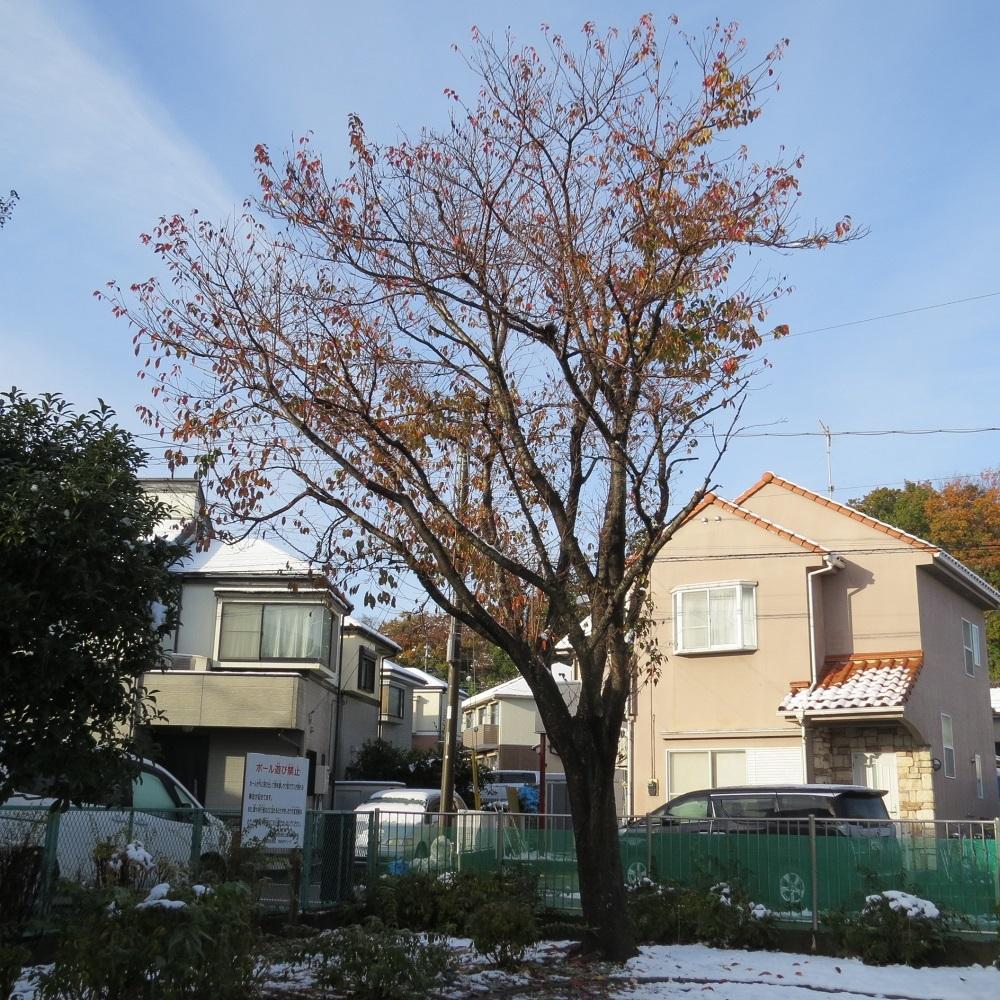 11月25日桜IMG_9155