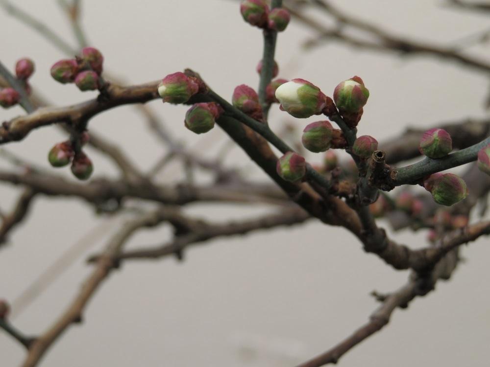 梅の蕾IMG_0504