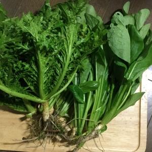 ワサビ菜、小松菜の収穫