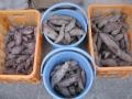 H28.12.30サツマイモ収穫⑩(5.15k)@IMG_0277