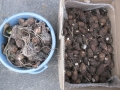 H28.12.30サトイモ収穫④(15k)@IMG_0275