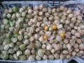 H28.12.31食用ホオズキの実収穫④@IMG_0295