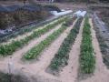 H29.1.13籾殻撒布②@IMG_0387