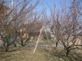 H29.1.22梅の木剪定前@IMG_0446
