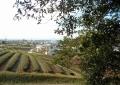 境内から見る茶畑