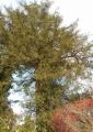 樹齢1000年のカヤの木