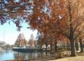 湖畔のメタセコイア