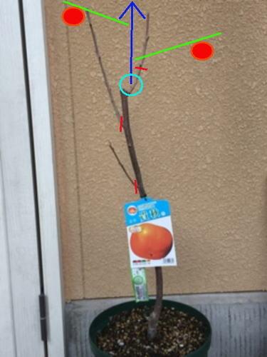 ゆずぽんさん柿 将来