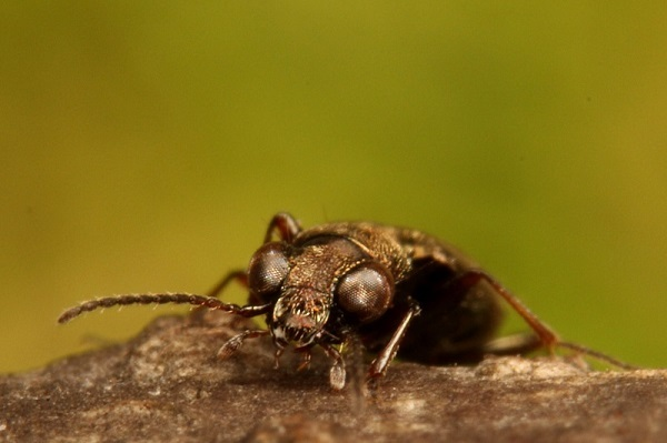 メダカチビカワゴミムシ (1)b