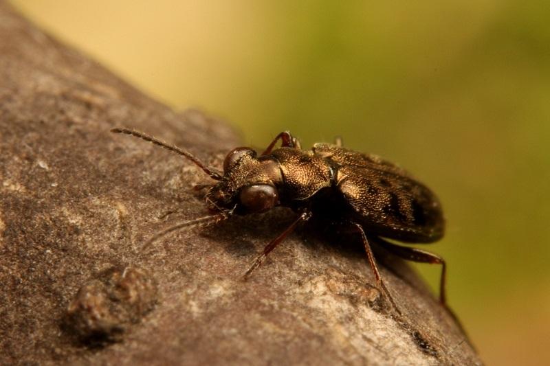 メダカチビカワゴミムシ (4)b