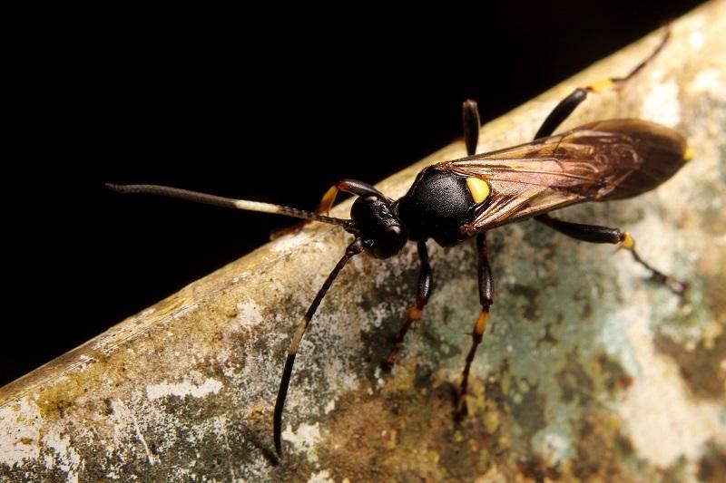 ヤフシキアシヒメバチ (3)b