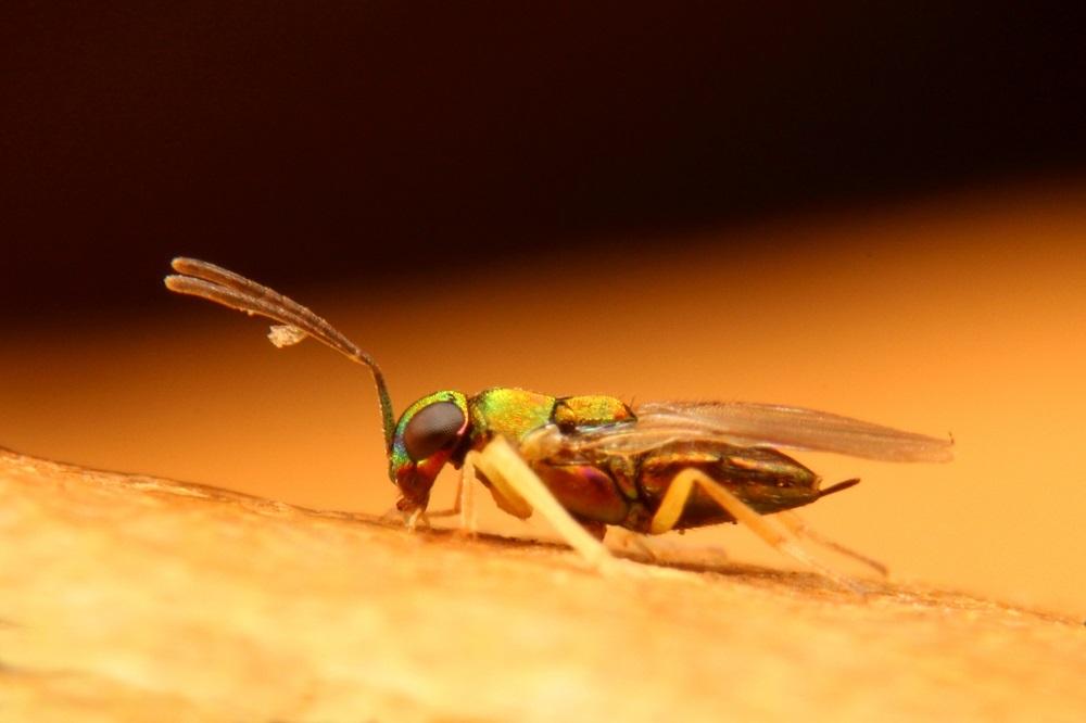 ヒメコバチの仲間 (2)b