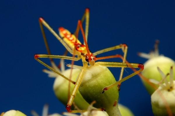 ヒゲナガサシガメ幼虫 (1)