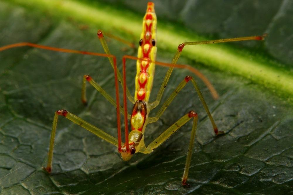 ヒゲナガサシガメ幼虫 (3)