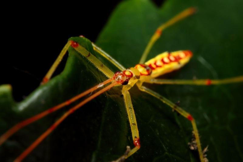 ヒゲナガサシガメ幼虫 (5)