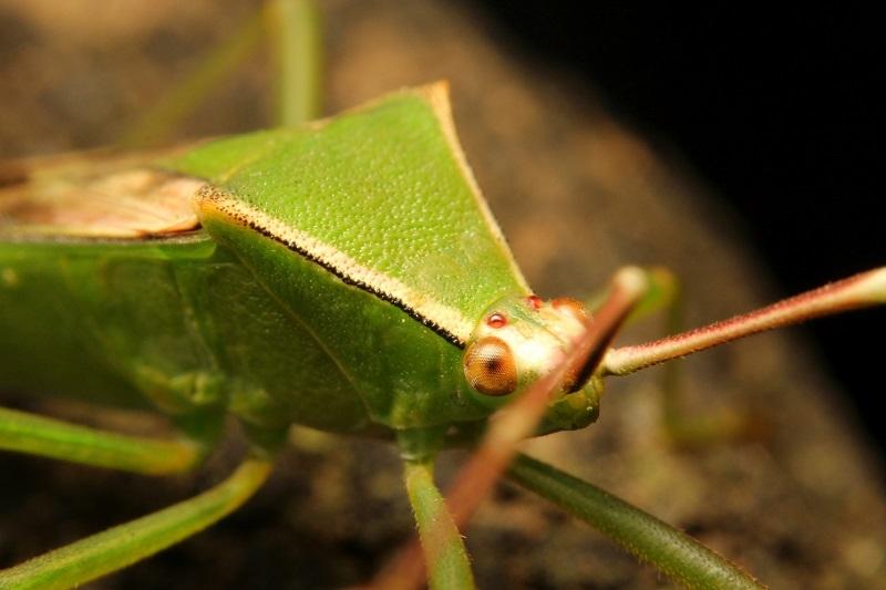 クモヘリカメムシb