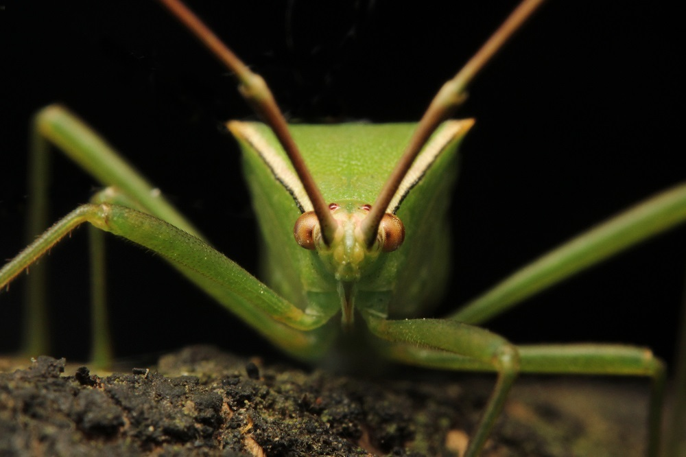 クモヘリカメムシbv