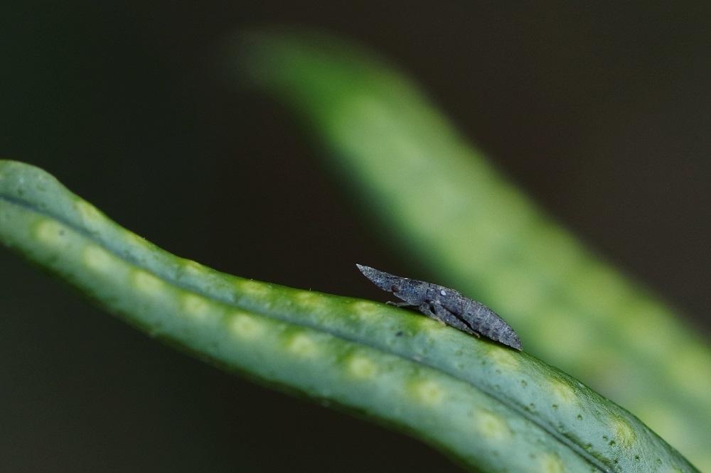 コミミズク幼虫 (2)vc