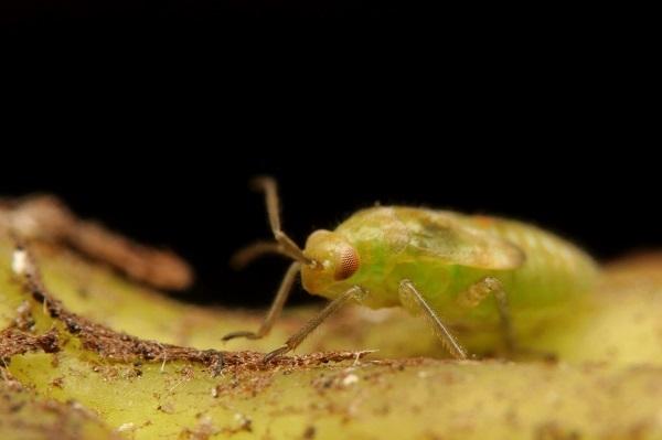 ケブカカスミカメ幼虫 (2)b