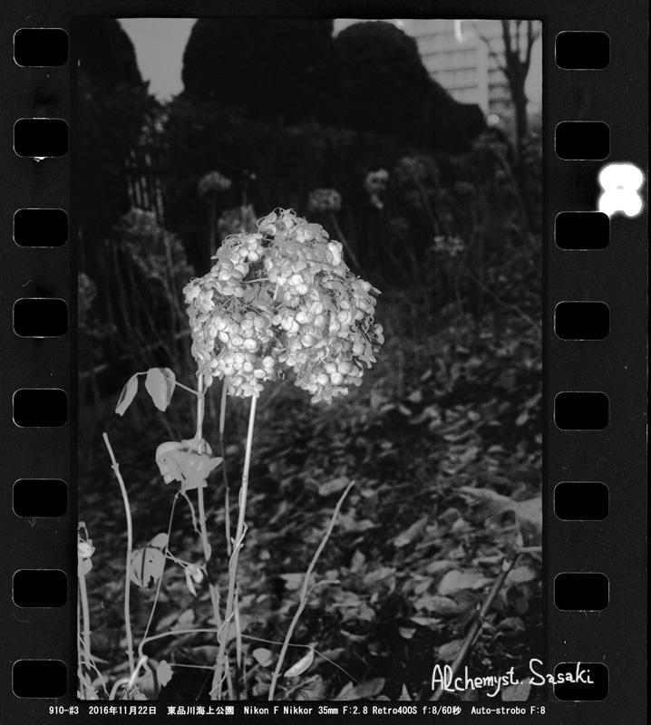 枯れた紫陽花910-#3-9 Ⅱa