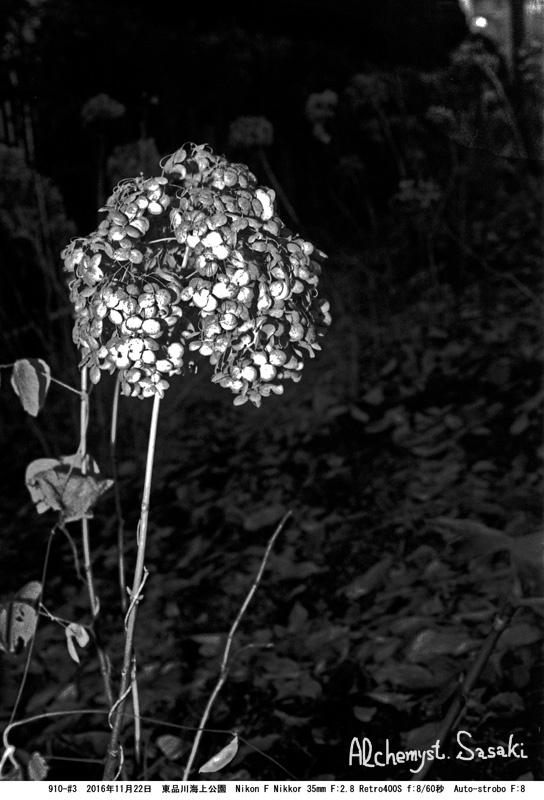 枯れた紫陽花910-#3-9 trimmimg