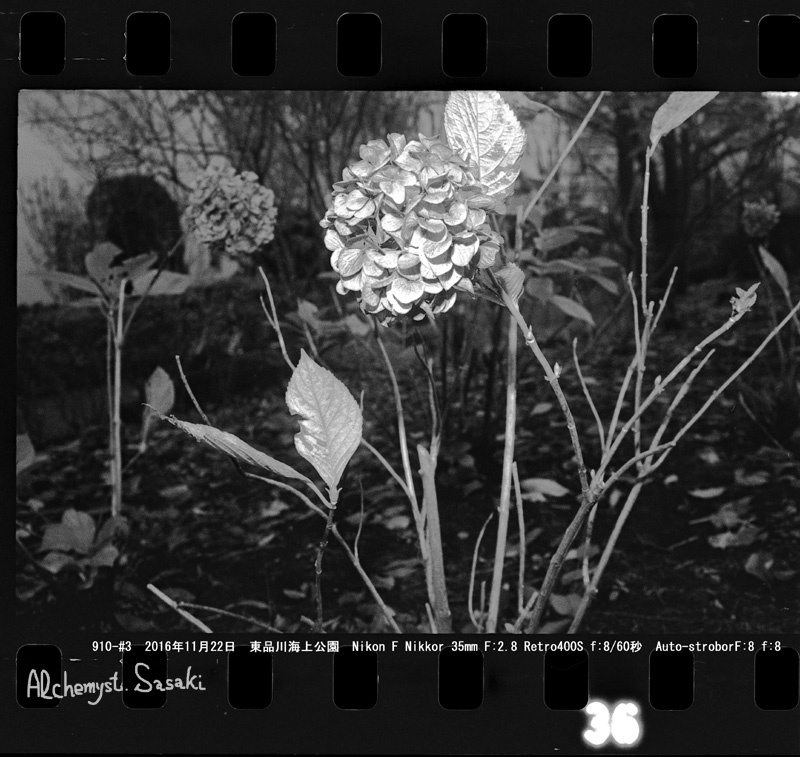 枯れた紫陽花910-#3-12 Ⅱ