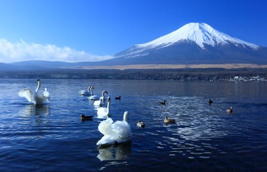 霊峰富士山を背後に山中湖で羽を休める白鳥