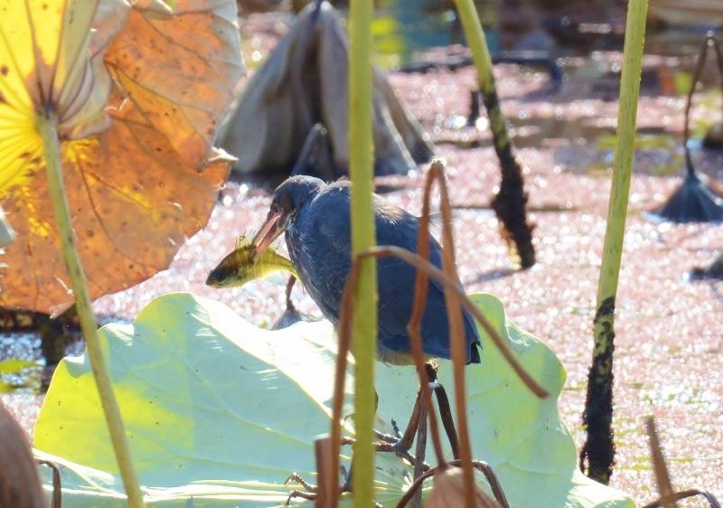 タカサゴクロサギ2016-11-12 159 (800x562)