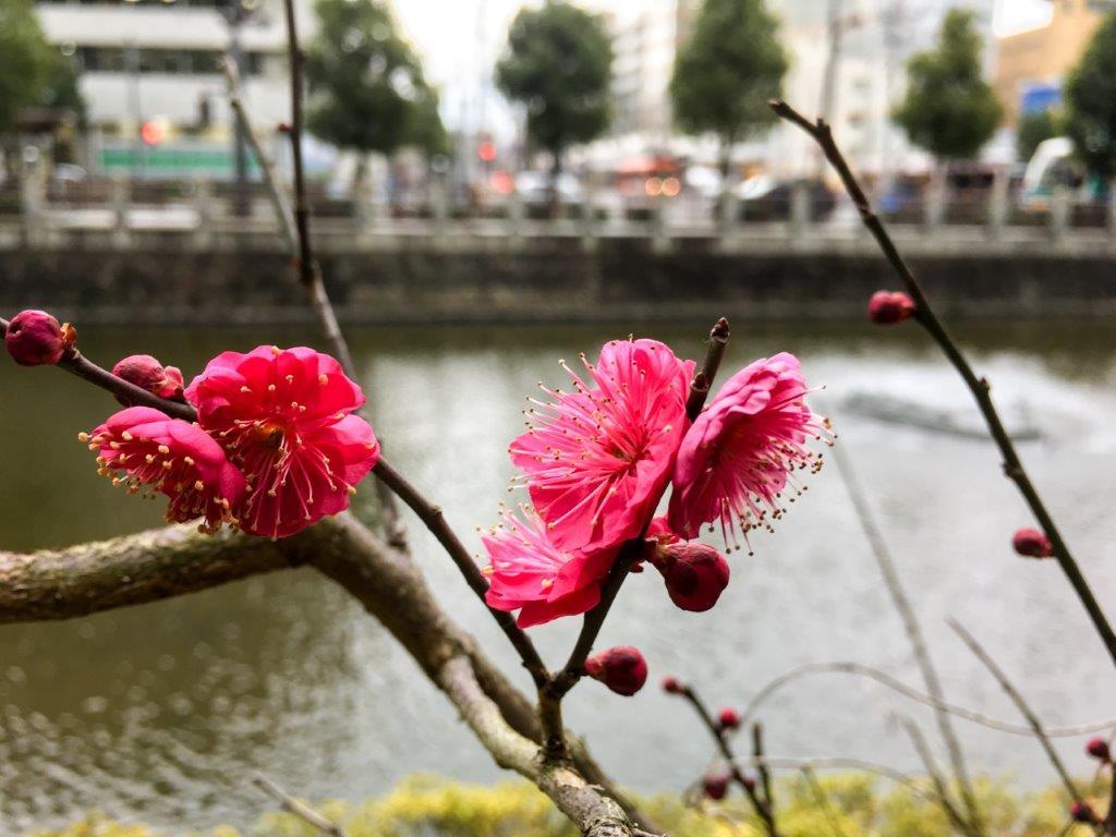 堀之内の梅の開花-1-1