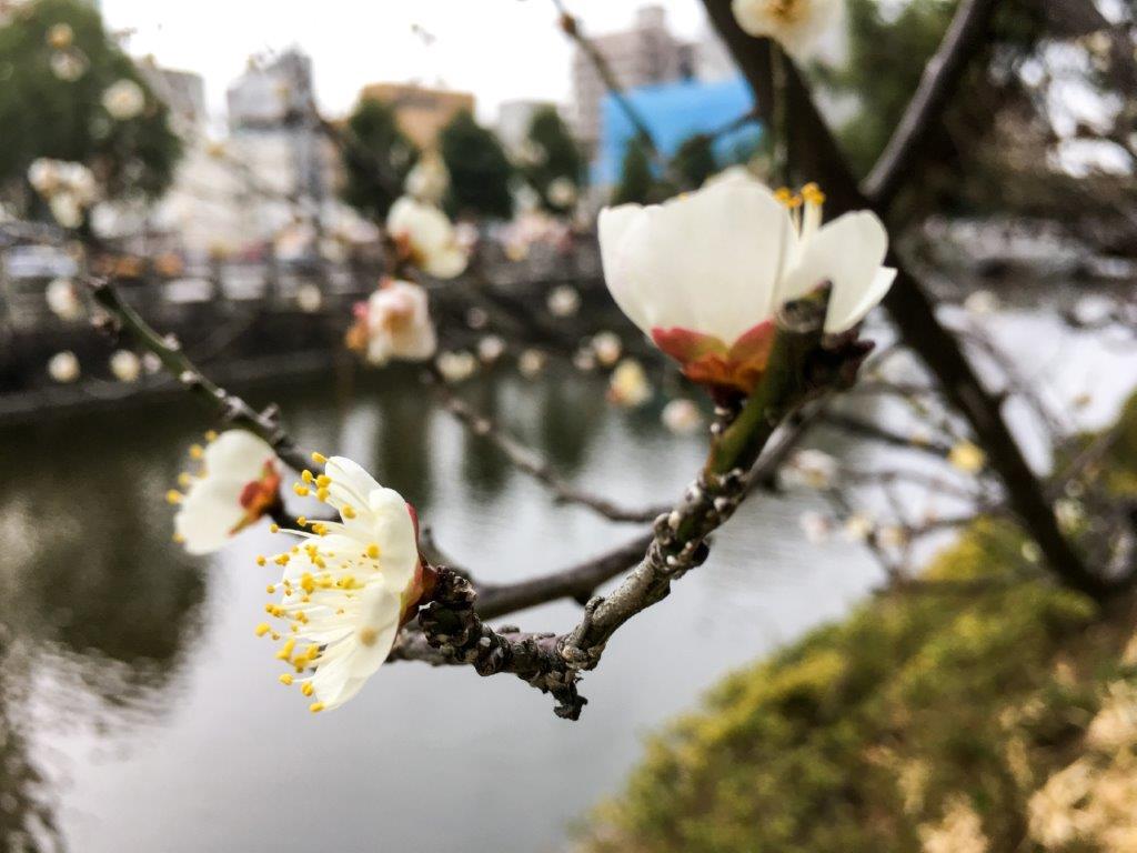 堀之内の梅の開花-2-1