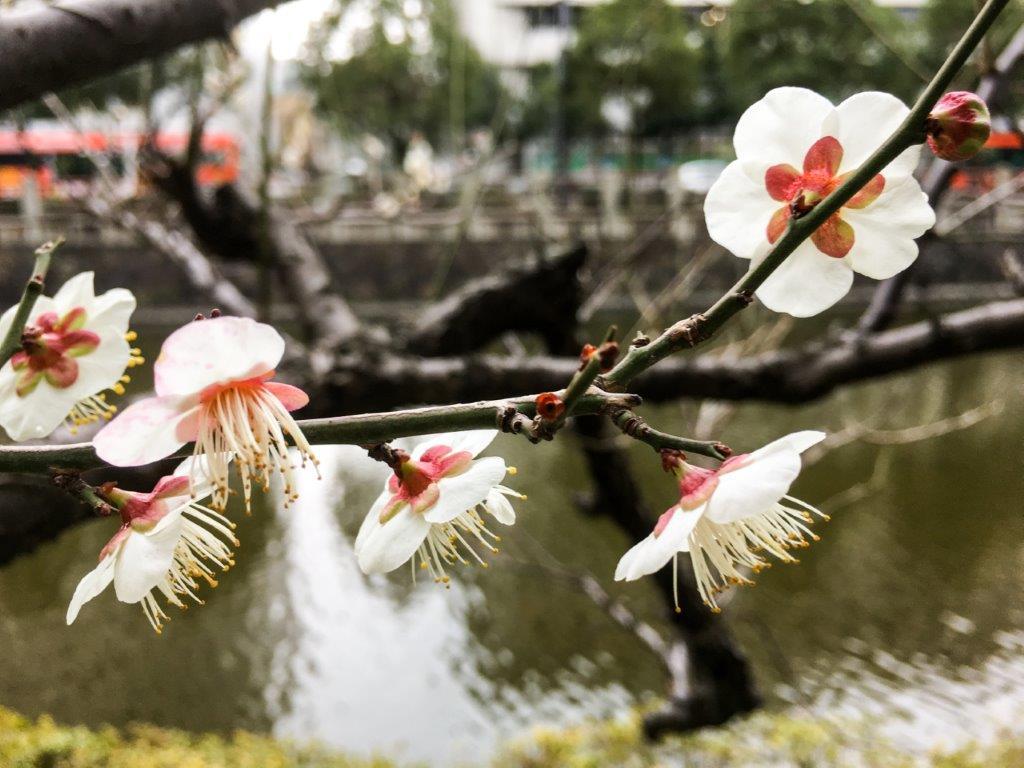 堀之内の梅の開花-3-1
