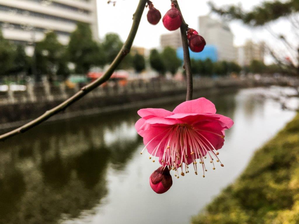 堀之内の梅の開花-4-1