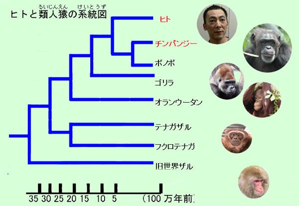 類人猿分岐図
