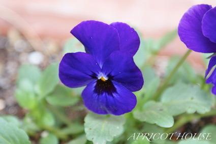 161211ビオラ紫