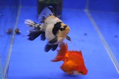 金魚0106