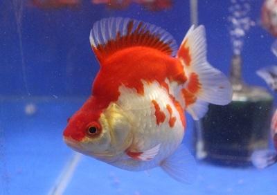 金魚0106-2