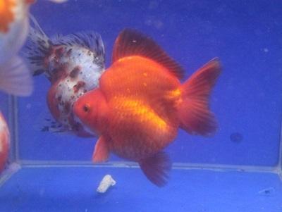 金魚0106-3