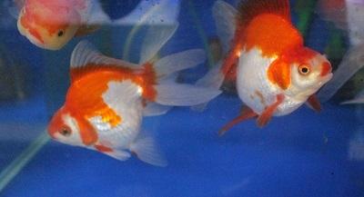 金魚0106-4