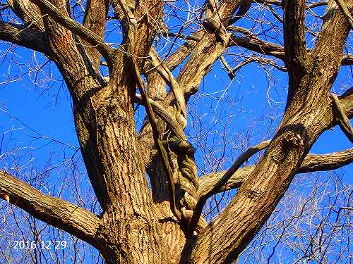 s-裸木⑤20161229