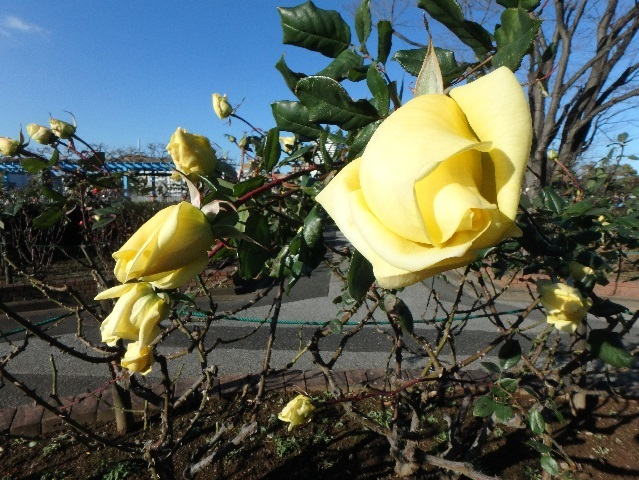1月のバラ 2