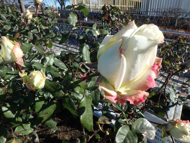 1月のバラ 3
