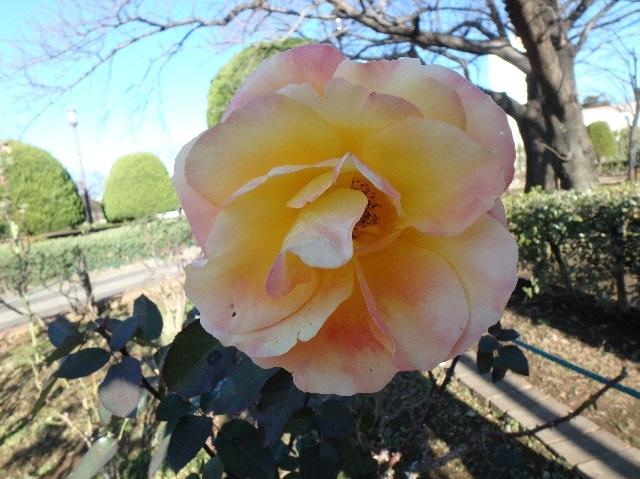 1月のバラ 4
