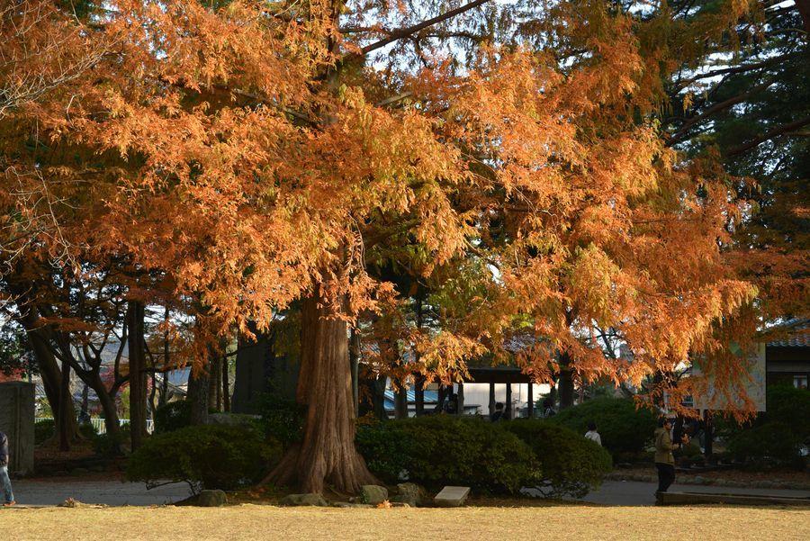 秋の日差し 2本の木-2