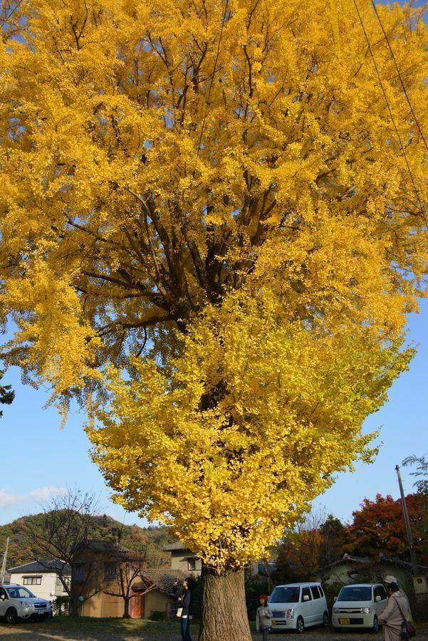 秋の日差し 2本の木-3