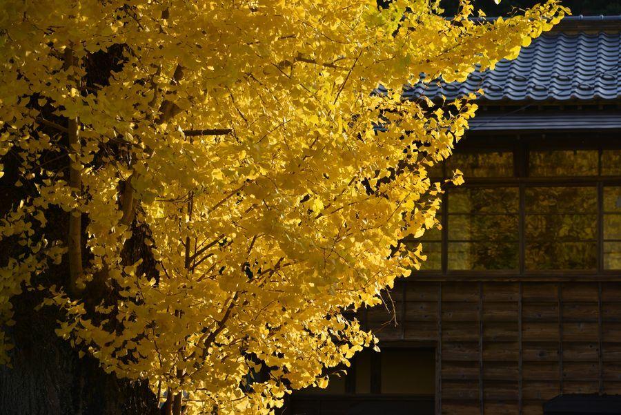 秋の日差し 2本の木-4